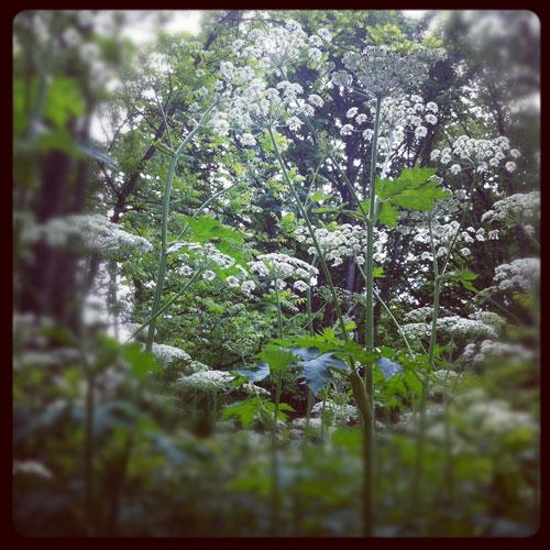 Cowparsleyforest