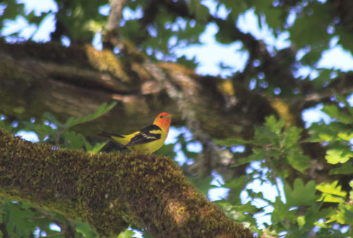 Westerntanager