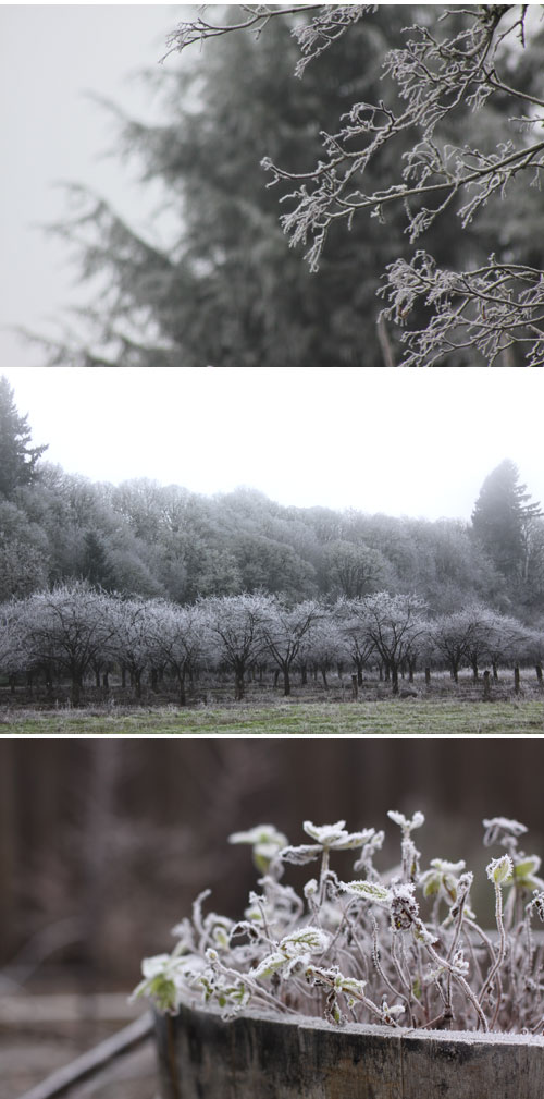 Frost&fog-orchard