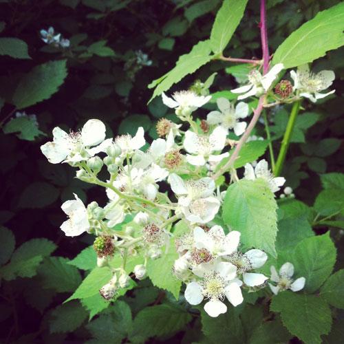 Balckberriestobe