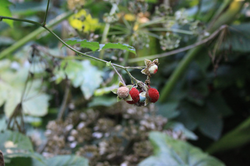 Timbleberries