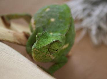 Fatchameleon